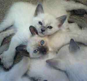 ☆☆Magnifiques Chatons Siamois☆☆Magnificient Siamese Kittens☆☆