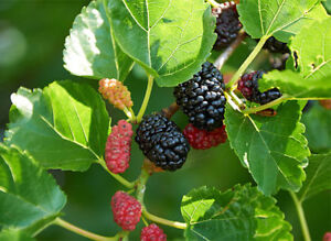 Wanted mulberry tree clipings to start my own.