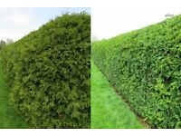 Garden Maintenance Services available trimming and reducing hedges grass cutting weeding pruning