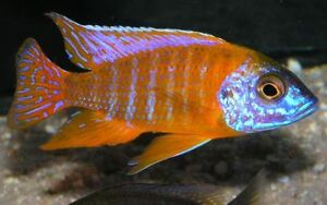 All Sold out - African Cichlid - German Red - Red Zibra Gatineau Ottawa / Gatineau Area image 1