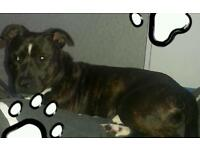 Male staffie..2 years old