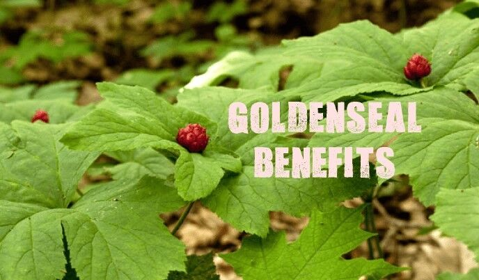 antioxidant all in one - GOLDENSEAL ROOT 520MG 2B - goldenseal standard process 2