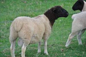 DORPER RAM LAMB FROM STUD STOCK Ipswich City Preview