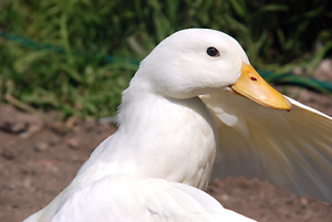 Lost duck lockridge Lockridge Swan Area Preview