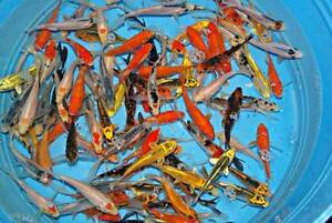 Order Koi on the website and get them delivered to your door South Windsor Hawkesbury Area Preview