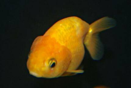 FREE ornament with $50 spent on Goldfish in store only South Windsor Hawkesbury Area Preview