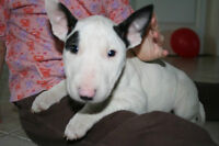 Bull Terrier Chiots Pure Race / Bull Terrier puppies