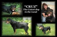 Rottweiler pups CKC registered