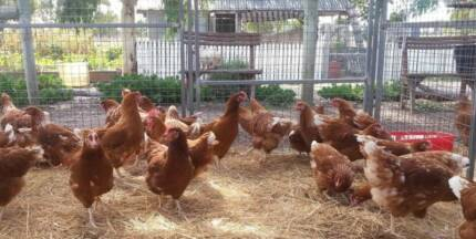 CHICKENS ISA BROWNS EXCELLENT LAYERS POL $28 OR 6 FOR $150