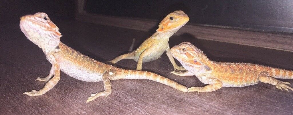 Bearded dragon baby's