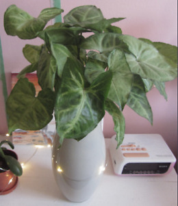 Arrowhead Vine Plant - Beautiful and Easy to Care For