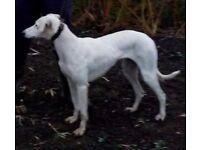 18 months old saluki greyhound girl