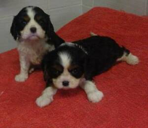 CAVALIER KING CHARLES SPANIEL MALE PUPS Kyogle Kyogle Area Preview
