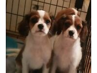 3/4 cavalier 1/4 chihuaha puppies REDUCED!!