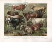 Antique Cattle Prints