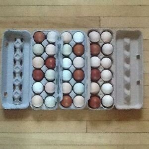 Heritage breed chickens fertile hatching eggs