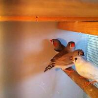 ZEBRA FINCHES FOR SALE MALE AND FEMALE