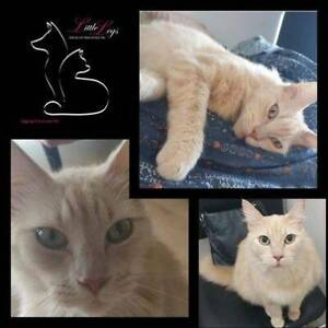 Tully - Adores affection - Male cat ready for adoption