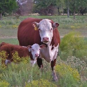 Bred Hereford pairs