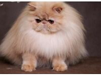 Pedigree Persian females