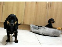 Real Miniature Dachshund Pups