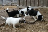 Great Pyrenees / Border Collie Livestock Guardian Puppies
