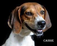 """Young Female Dog - Treeing Walker Coonhound-Hound: """"Cassie"""""""