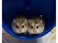 2 baby dwarf hamsters & cage