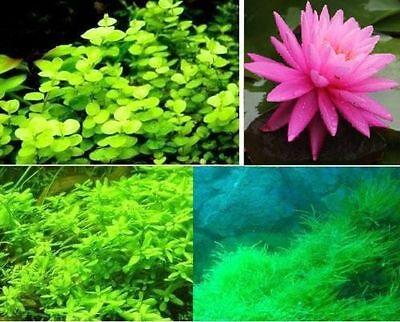 Sortiment robuste winterharte schnellwüchsige Teichpflanzen + rosa Seerose Deko