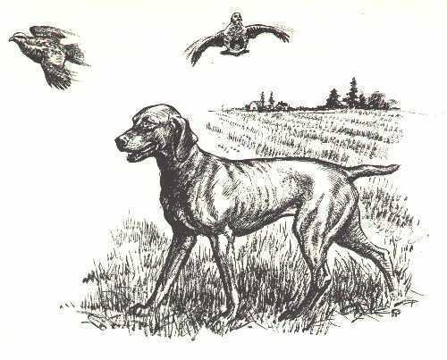VIZSLA - 1964 Dog Art Print - MATTED