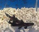 Live Aquarium Catfish