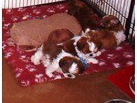 Beautiful Pure Bred Shih Tzu Girl Puppies