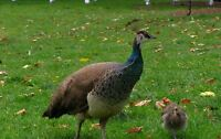 Peahens, some with chicks