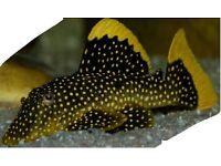Tropical fish ( Gold Nugget Pleco)