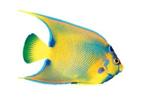Poisson Queen Angelfish pour aquarium eau salee