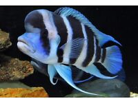 Fish african frontosa cichlids . 1.5 Inch - £5 each