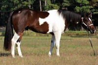 Flashy Tobiano APHA registered