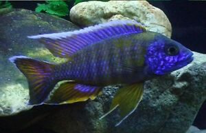 Wanted-Peacock Cichlids