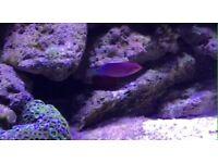 Six Line Wrasse, Marine Fish
