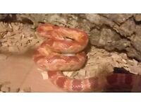 2yr old corn snake