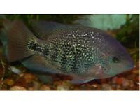 """Red Head Cichlids (synspilum) 4-5"""" for sale live tropical fish"""
