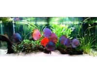 9 Stendker Discus for Aquarium/Fish Tank