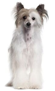 Beautiful & Well Behaved Female Chinese Crested Dog