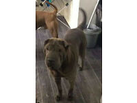 Blue female sharpei (shar pei) for sale, kc reg, brilliant with children and other animals