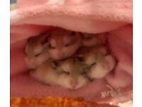 Baby Dwarf Roborovski Hamsters