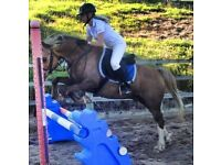 14hh Welsh cob dusky palomino for sale