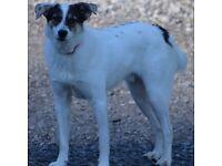 Missing Dog 01/09/17. Llansadwrn SA19 area