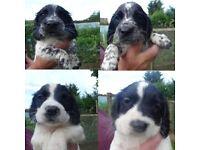4 Sprocker Spaniel Puppies