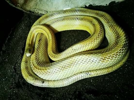 Motley Cornsnake Green approx 2years old