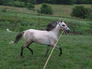 welsh pony for sale
